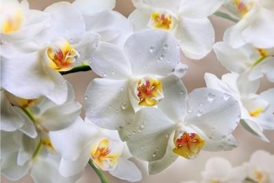 орхідея